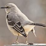mockingbird attacks